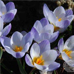 Крокус ранневесенний chrysanthus Blue Pearl 10 луковиц