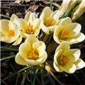 Крокус ранньовесняний chrysanthus Cream Beauty 8 цибулин