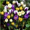 Крокус ранневесенний chrysanthus микс 10 луковиц
