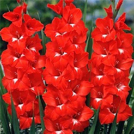 Гладиолус крупноцветковый Traderhorn 5 луковиц