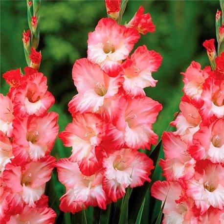 Гладиолус крупноцветковый Pink Lady 5 луковиц