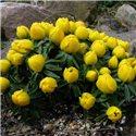 Весняник Eranthis Hyemalis 5 цибулин