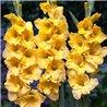 Гладиолус крупноцветковый Charisma 5 луковиц