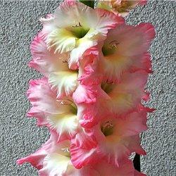 Гладиолус крупноцветковый Careless 5 луковиц