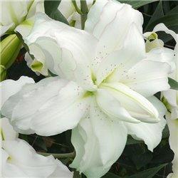Лилия махровая Lotus Beauty 1 луковица