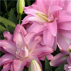 Лилия махровая Lotus Breeze 1 луковица