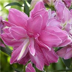 Лилия махровая Lotus Dream 1 луковица