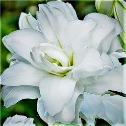 Лилия махровая Lotus Pure 1 луковица