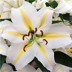 Лилия восточный гибрид Baferrari 1 луковица