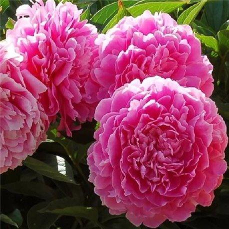Пион Princess Margaret