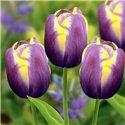 Тюльпан класичний тріумф Arabian Beauty 3 цибулини