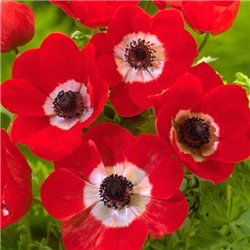 Анемона coronaria Hollandia 10 клубней