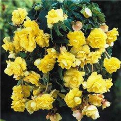 Бегония ампельная с гигантскими цветками желтая 1 клубень