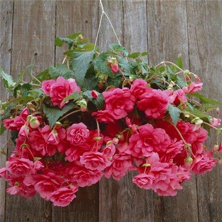Бегония ампельная с гигантскими цветками розовая 1 клубень
