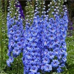 Дельфиниум гибридный Blue Bird (1 растение)