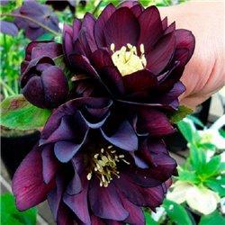 Морозник махровый Ellen Purple (1 растение)