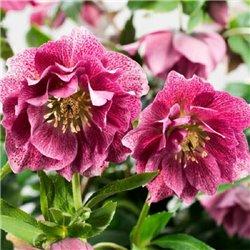 Морозник махровый Hybrids Pink Promise (1 растение)