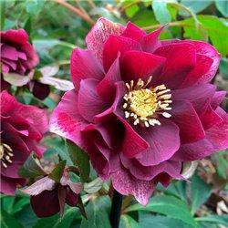 Морозник махровый Hybrids Red Promise (1 растение)