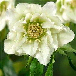 Морозник махровый White Promise (1 растение)