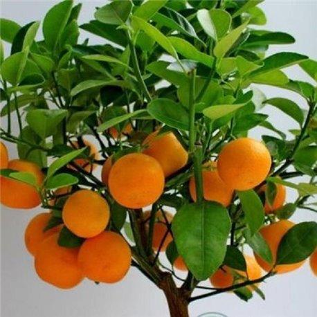 Апельсин комнатный Вашингтон Навел