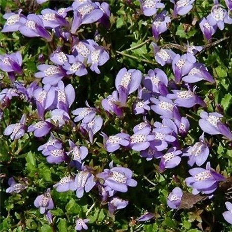Мазус Purple