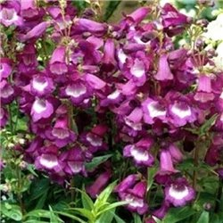Пенстемон Purple Passion