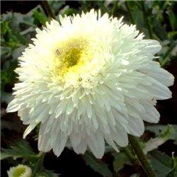 Ромашка хризантемовидная Fiona Coghill