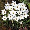 Ифейон Ipheion White Star 10 луковиц