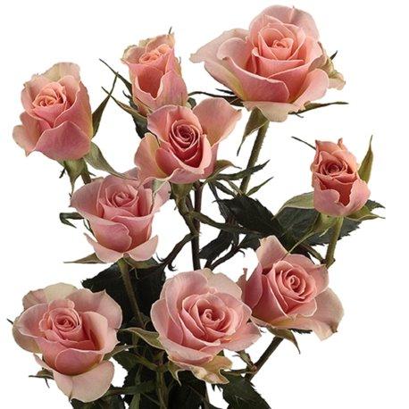 Роза спрей Ильза