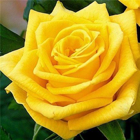Роза чайно-гибридная Sphinx