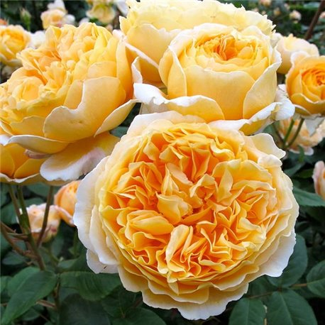 Роза пионовидная Beatrice