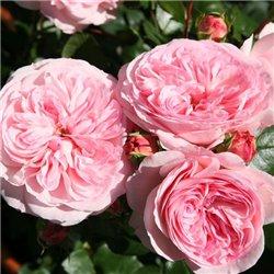 Троянда півонієвидна Mariatheresia