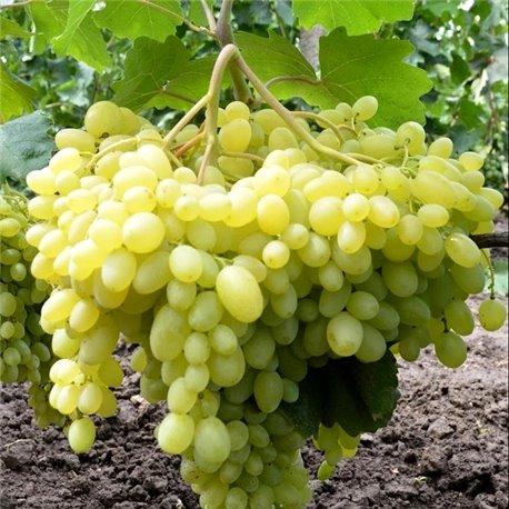 Виноград кишмиш Гелиодор