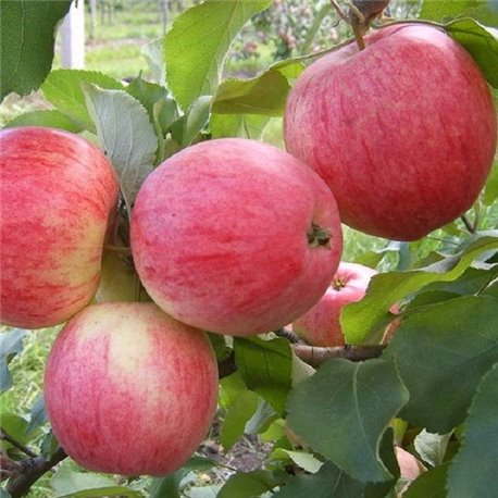 Яблоня осенняя Слава Победителям