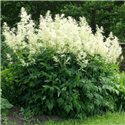 Арункус обыкновенный Волжанка 1 растение