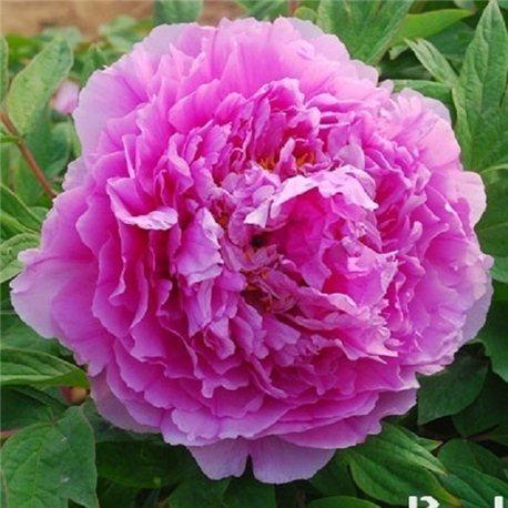 Пион древовидный Цветочная роса Ling hua zhan lu