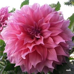 Георгина декоративная крупноцветковая Arthur Hambley 1 штука