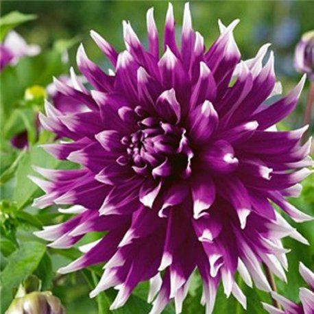 Георгина декоративная крупноцветковая England's Glory 1 штука