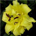 Лилия махровая О.Т. гибрид Exotic Sun 3 луковицы