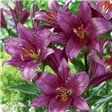 Лілія О.Т. гібрид Purple Prince 3 цибулини