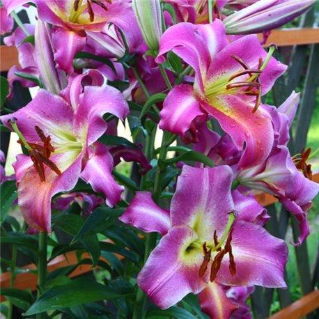Лілія О.Т. гібрид Purple Lady 1 цибулина