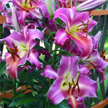 Лилия О.Т. гибрид Purple Lady 1 луковица