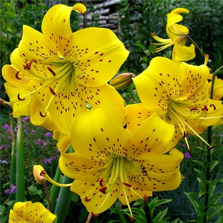 Лилия тигровая Yellow Bruse 3 луковицы