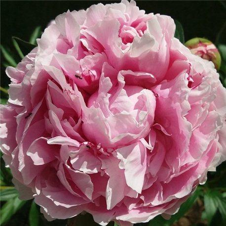 Пион Sarah Bernhardt