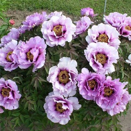 Пион древовидный Tree Peonies lilac