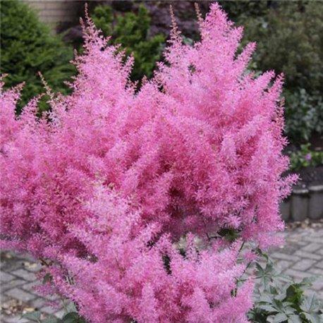 Астильба Gloria Purpurea 1 растение