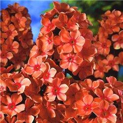 Флокс волотистий paniculata Orange Perfection 1 рослина