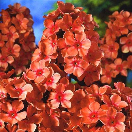 Флокс метельчатый paniculata Orange Perfection 1 растение