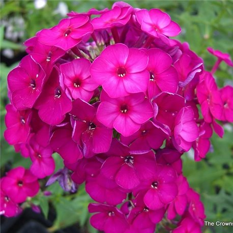 Флокс метельчатый paniculata Nicky 1 растение