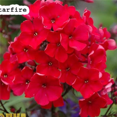 Флокс метельчатый paniculata Red Girl 1 растение